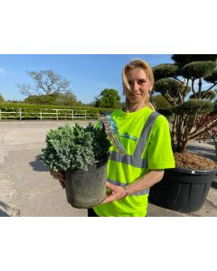 Juniperus Blue Star 4.5 Litre Pot