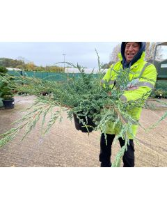 Juniperus Blue Carpet 10 Litre Pot