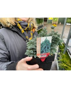 Juniperus Blue Star 2 Litre Pot