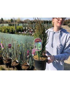 Juniperus Communis Compressa