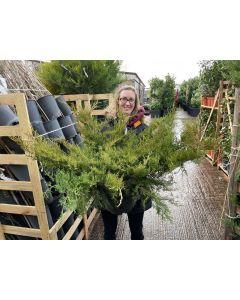 Juniperus med.Old Gold 10 Litre Pot