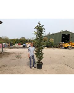 Photinia Red Robin 35 Litre Pot 200 cm