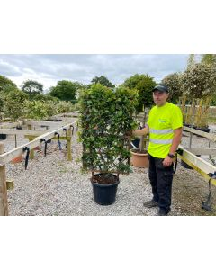 Photinia Crunchy Living Hedge Panel 30 Litre Pot 120x70cm