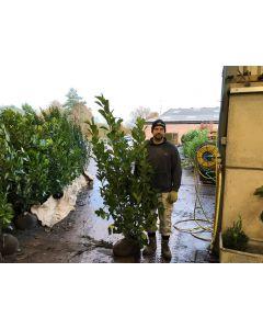 Laurel Genolia Hedging Root Ball 120/140cm