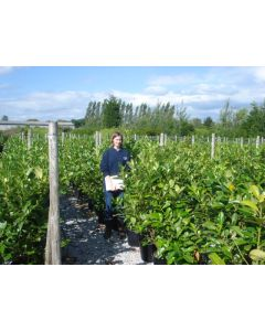 Laurel Hedging Root ball 125/150cm