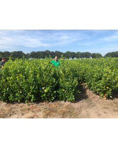 Laurel Hedging Root Ball 150/175cm Digging Now