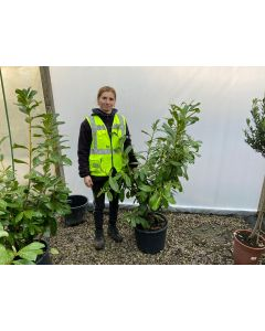Laurel Hedging Novita 20 Litre Pot 110/125cm