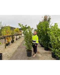 Laurel Genolia Hedging Root Ball 120/140cm