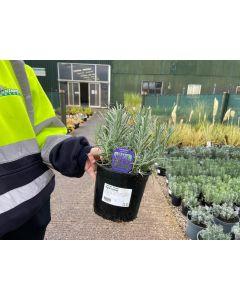 Lavender Grosso 2 Litre Pot