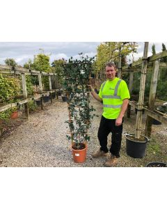 Trachelospermum Jasminoides Wall Frame 90cm x 50cm 15 Litre Pot