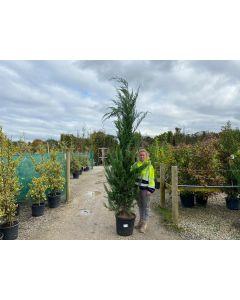 Green Leylandii Hedging 30 Litre Pot 2.5 / 3 Metres