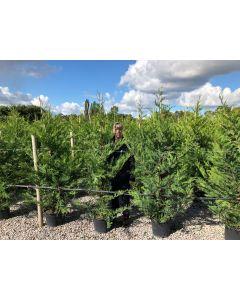 Green Leylandii Hedging 20 Litre Pot 180/200cm