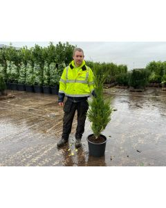 Green Leylandii Hedging 100/120 Root Grafted