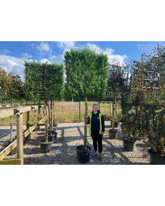 Green Leylandii 3/4 Standard Pleached Hedging 45 Litre Pot