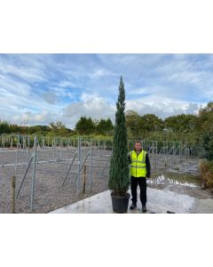 Juniperus Blue Arrow 35 Litre Pot 250/300cm