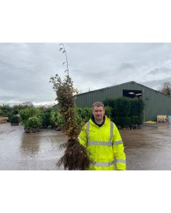 Hawthorn Hedging Bare Root 80-100 cm