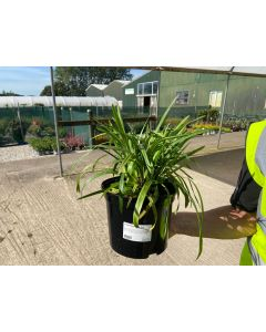 Liriope Muscari Big Blue 5 Litre Pot