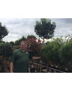 Prunus Lusitanica Myrtifolia Full Std 25 Litre Pot 8/10G 170/180 Stem