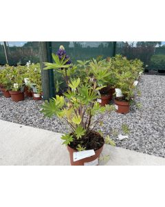 Lupin Gallery Blue 2 Litre