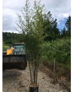 Black Bamboo 18 Litre Pot 180-200 cm