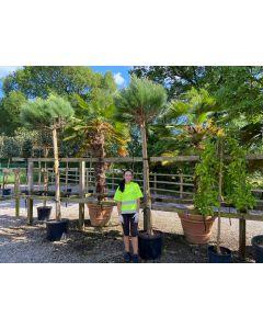 Pinus Pinea 35 Litre Pot Full Standard 8-10 cm Girth
