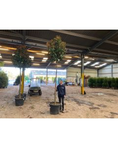 Magnolia Grandiflora Goliath 90 Litre Pot Full Std 16/18