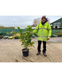 Magnolia soulangeana Andre Leroy 15 Litre Pot