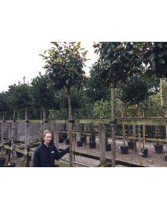 Magnolia Grandiflora Goliath 70 Litre Pot Full Std 14/16