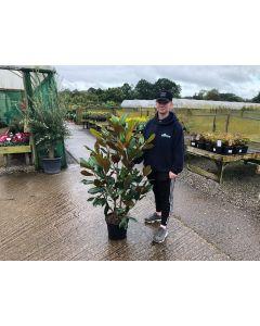 Magnolia Grandiflora 3.5 Litre Pot