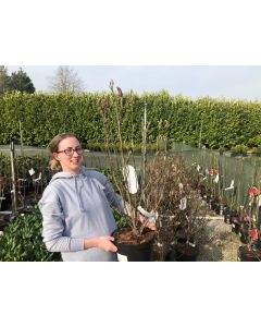 Magnolia Susan 12 Litre Pot
