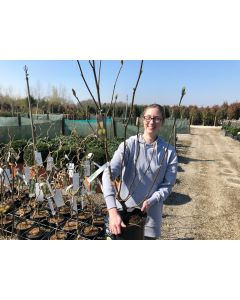 Magnolia Yellow Bird 7.5 Litre Pot