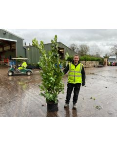 Laurel Hedging 25 Litre Pot 190/210cm