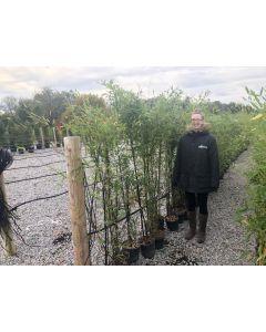 Black Bamboo - Phyllostachys Nigra 5 Litre Pot 140/160cm