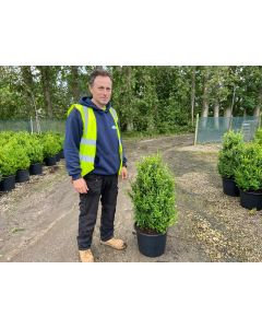 Box Hedging 60-80 cm Root Ball