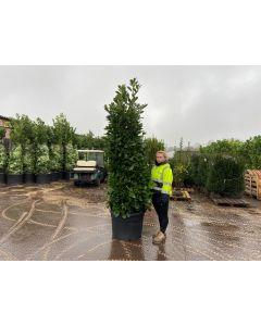 Laurel hedging 230-250cm Root Ball Super Wide