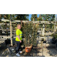 Photinia Carre Rouge Wall Frame 35 Litre Pot
