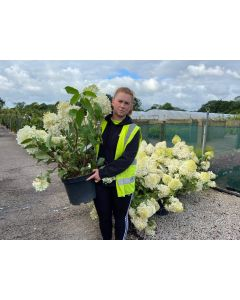 Hydrangea Paniculata Phantom 10 Litre Pot