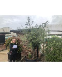 Olive Europea Aged Tree 100 Litre Pot