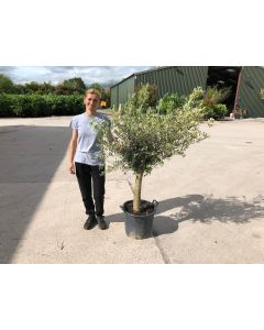 Olive Heavy 1/4 Standard 50/60 cm Stem 20cm Girth 30 Litre