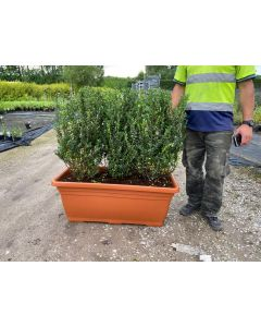 Box Holly Ilex Cren. Caroline Root Ball 40/60cm