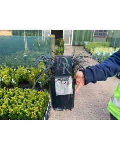 Ophiopogon Niger 2 Litre Pot