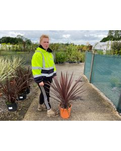 Cordyline Red Star 9 Litre Pot