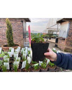 Papaver Raspberry Queen 3 Litre Pot Specimen size