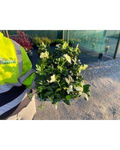 Helleborus Nigra Eileen 9cm Pot x 12 plants in a Tray