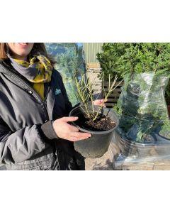 Perovskia Blue Spire 4.5 Litre Pot