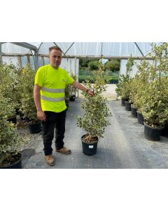 Holly or Ilex Argentea Marginata Root Ball 120/130cm