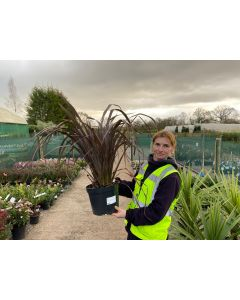Phormium Red Sensation 7.5 Litre Pot