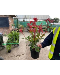 Photinia Carre Rouge 3 Litre Pot