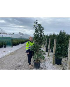 Photinia Red Robin 30 Litre Pot 200-220 cm