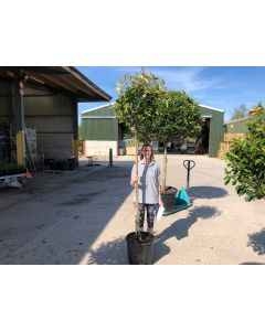 Photinia Red Robin 3/4 Std 30 Litre Pot 150/160cm Stem